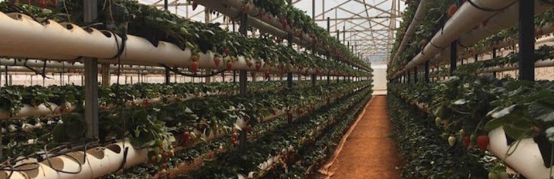Diseñan sistema con lámparas LED para incrementar la producción de fresa en invernadero