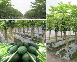 Cultivo de papaya protegido con Malla Antitrips